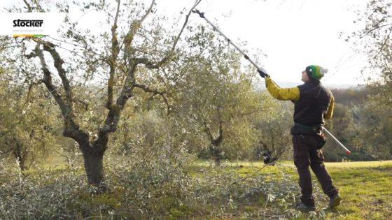 Foto: Thumbnail - Come potare l'olivo - Potatura dell'olivo a vaso policonico a 360 ° - Parte 3