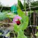 Fiore rosa di piselli