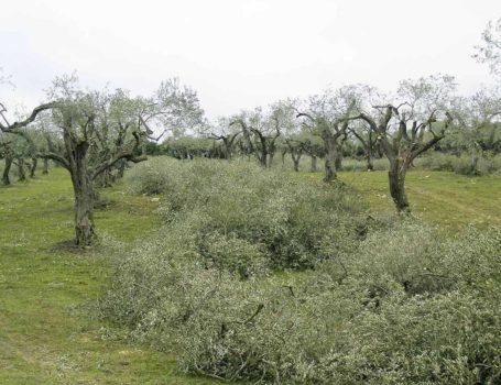 Eccessiva asportazione di chioma in olivi riformati periodicamente