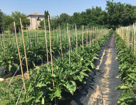 Manutenzione dei sostegni dei pomodori