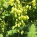 Grappolo di uva da tavola