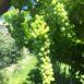 Grappoli di uva da tavola