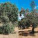 Olivo non potato e olivo potato a vaso policonico