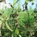 Stelo di pomodoro colpito da peronospora