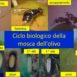 Ciclo biologico della mosca dell'olivo