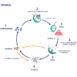 Ciclo biologico mosca dell'olivo