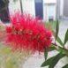 Fiore del callistemone