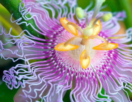 Dettaglio di fiore di passiflora