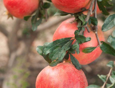 Frutti di melograno