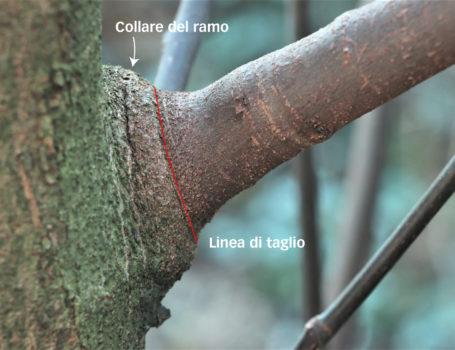 Il taglio di una branca laterale va eseguito sfiorando il collare del ramo.