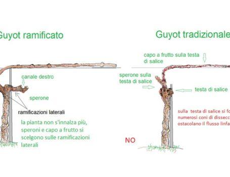 Confronto Guyot ramificato e tradizionale