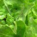 Afidi su lattuga: per prevenire si fa uso di macerati naturali ed estratti di piante