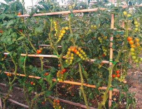 Pomodori con canne di sostegno