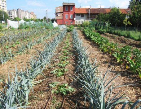 Orto urbano con consociazione di ortaggi per prevenire malattie e parassiti