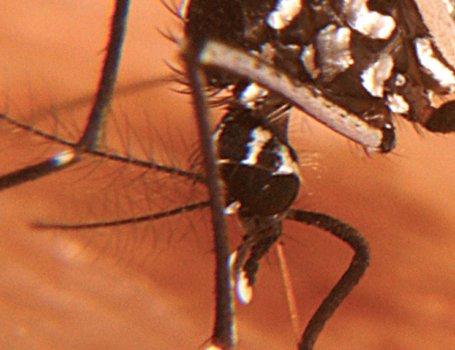 Zanzara Tigre: dettaglio sulla testa