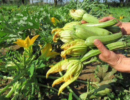 Zucchine raccolte