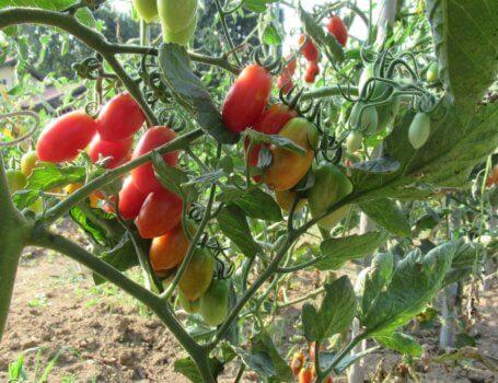 Pianta di pomodori datterini