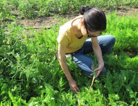 Prova di raccolta delle carote