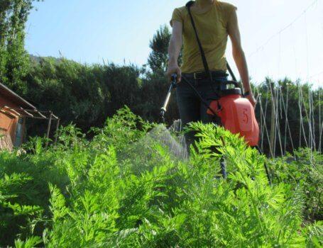 Trattamento su piante di carote