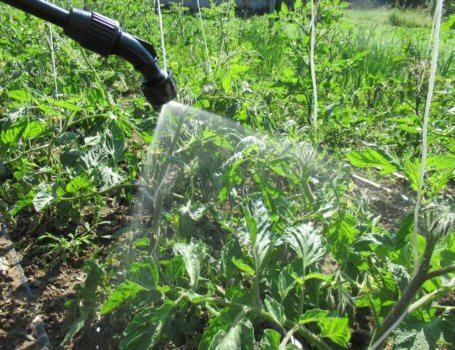 Dettaglio trattamento su foglie di pomodoro