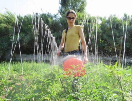 Trattamento su piante di pomodoro