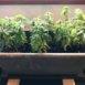 Trasferimento dei vasi di piante aromatiche all'interno
